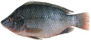 在罗非鱼链球菌高发季节要如何预防