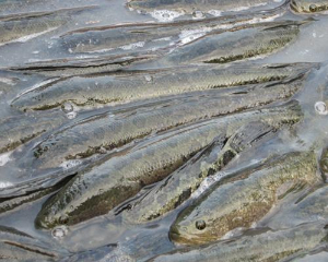 防治黑鱼(乌鳢)这三种常见的病害