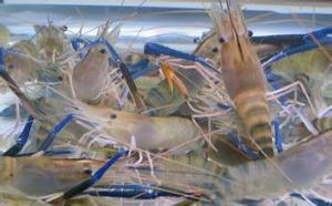 哪些原因导致虾蟹混养产量低下及相关对策方法